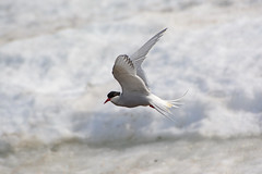 Arctic Terns with snow. (E P Rogers) Tags: arctictern sternaparadisaea ice migration bird white red bill feet