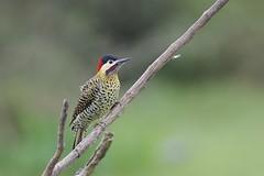 Green-barred Woodpecker (Colaptes melanochloros), Esteros del Iber, Corrientes, Argentina (Daniel J. Field) Tags: greenbarredwoodpecker colaptesmelanochloros