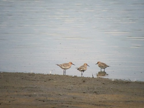 Baird's Sandpipers - Anne Arundel County