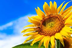 IMG_1496 (Jun.Ohashi) Tags: flower sunflower           jp canon  eos eosm3 apsc efm1855mmf3556isstm efm1855mm 1855mm efm f3556 is stm   honeybee