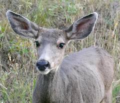 Female Mule Deer (Colorado Sands) Tags: deer wildlife animal muledeer evergreen colorado us coloradowildlife female doe wild muley mammals northamerica jeffersoncounty