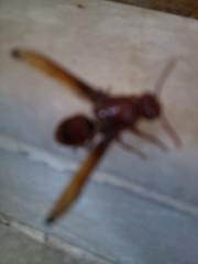 bug 1 (krihsnasri) Tags: hemiptera arthropod insect myriapod woodlouse terrestrialcrab pathogen bug slipperlobster trilobite