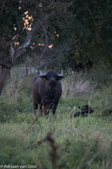 Wild cow and calf (Adriaan van Oost) Tags: animals biesbosch park national netherlands