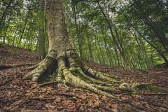 La Fageda d'en Jord (Garrotxa) (Miguel A. Garc) Tags: nature naturaleza hayedo haya girona catalunya catalua espaa spain bosque forest forester tree nikond600 nikonista nikonian nikkor1424 nikkorlenses
