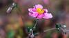 _DSC0167-Modifier.jpg (xpressx) Tags: bokeh 50mm nikon flowers passionphotonikon fleurs nd4 18 parc photographe lightroom nikond5000 nd8 nikkor flore d5000