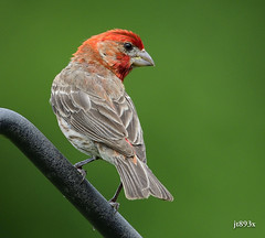 House Finch Male (jt893x) Tags: 150600mm bird d500 finch haemorhousmexicanus housefinch jt893x male nikon nikond500 sigma sigma150600mmf563dgoshsms