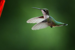 Ruby throated humming bird (BDphoto1) Tags: usa virginia nature birds outdoors humming bird wings flying feeding one nobody horizontal color photograph forest woods colorful closeup macro green
