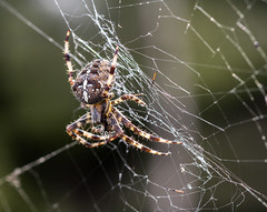 battle spider (PDKImages) Tags: spider spiders webs macro beauty silhouettes legs creepy danger feeding striped pounce nature