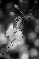 Few things changed while you were away (hjl) Tags: 35mmfilm blackandwhite bokeh canon canonf1 filmphotography flower fuschia hc110 kodak standdevelopment stilllife tmax400