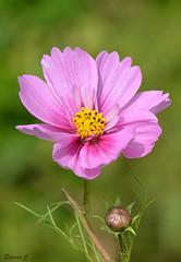 Cosmos (1) (Eleanor (No multiple invites please)) Tags: cosmos pinkflower busheyrosegarden nikond7100 bushey uk august2016