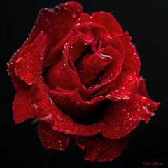 Rose rouge et gouttes d'eau (caffin.jacques3) Tags: fleur rose rouge fond noir red flower black background gouttes deau water drops plante ptale