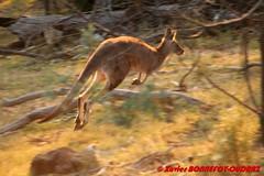 Canberra - Mount Ainslie - Wallaby (soyouz) Tags: ainslie aus australiancapitalterritory australie geo:lat=3527026850 geo:lon=14915772413 geotagged mountainslie sunset animals animalsaustralia canberra australiel