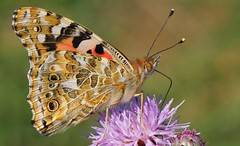 Painted Lady - 260816 (5) (Richard Collier - Wildlife and Travel Photography) Tags: insects naturalhistory wildlife macro butterflies paintedladyvanessacardui british