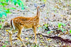 a shy fawn (lxiao9990) Tags: radnorlake nashville whitetailed deer