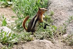 Golden-mantled Ground Squirrel (mooreskyler242) Tags: sunsetpeak groundsquirrel goldenmantledgroundsquirrel