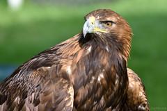 Golden Eagle (Bri_J) Tags: chatsworthhouse bakewell derbyshire uk chatsworthcountryfair2016 chatsworthcountryfair chatsworth nikon d7200 goldeneagle eagle bird birdofprey aquilachrysaetos
