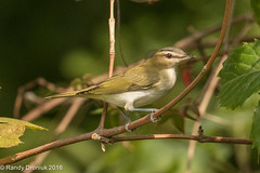 Red-eyed Vireo (rdroniuk) Tags: birds smallbirds vireos passerines redeyedvireo vireoolivaceus sedgewickforest oiseaux passereaux virooeilrouge