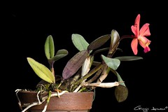 Cattleya George Hardy (Giorgio Armano) Tags: fiore focus flower fiori orchid orchids orchidea orchidee macro nikon helicon cattleya george hardy sophronitis coccinea aclandiae