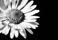 (JP-K) Tags: blume schwarz schwarzweiss macro black white bw low key flower daisy d7100 nikon makro