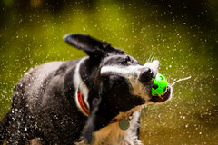 couldn't resist this one! (grahamrobb888) Tags: nikond800 sigma120400mm zac dog pet water shake ball spray