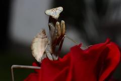 Mantis (daniel-bp) Tags: mantid mantis