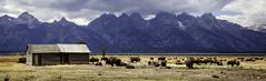Teton Bison (lgambon) Tags: tetons bison foeld mountains nature