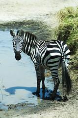 Jambo Zebra (jhderojas) Tags: zebra masai mara kenia