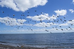 Flight Over the Atlantic Ocean (biesterd11) Tags: water ocean atlantic bird seagull flight flying clouds falmouth capecod cape cod ma massachusetts
