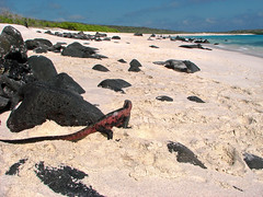 marine iguana enjoying beach view at gardner bay - espaola island, galpagos 1 (Russell Scott Images) Tags: colourful marineiguanaamblyrhynchuscristatussspvenustissimus beach espaolaisland islaespaola hoodisland galpagos equator gardnerbay sand