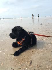 Gabby chillin (crisp4dogs) Tags: gabby pwd portuguesewaterdog puppy crisp4dogs beach northcarolina water