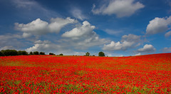 Sea of red (snowyturner) Tags: trees red england sky field clouds landscape day cloudy monet poppy poppies berkshire lambourn