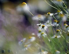 . (Frau Koriander) Tags: flowers nature dof bokeh meadow wiese blumen vivitar13528 botanischergartenbremen nikond300s
