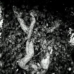 Embrace (aistora) Tags: park nyc uk light shadow england blackandwhite bw white black blur detail tree green texture nature leaves mobile forest woodland square grit reading mono stem hug flickr branch phone britain outdoor sony lofi cellphone ivy climbing smartphone trunk embrace berkshire vignette twisted android app symbiosis maistora xperia instagra