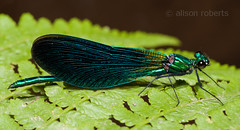 Beautiful Demoiselle (Calopteryx virgo) Male - Explored #72 15/8/12 (Ali -1963) Tags: nikon beautifuldemoiselle calopteryxvirgo tamron90mm28 d5000 tehidycountrypark alisonroberts