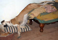 catahoula conks out (rchristopherus) Tags: rescue dog sleepy sleeps catahoula