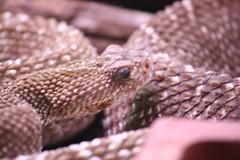 (Olaya Garcia) Tags: parque naturaleza canon eos snake culebra serpent santander serpiente cabarceno 1000d