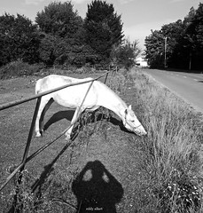 The Grass Is Always Greener (Eddy Allart) Tags: horse white fence caballo cheval eating gras wit paard schimmel