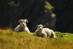 I Fratelli (Wrinzo) Tags: scotland sheep agnello pecore unst scozia shetlandislands hermanessnaturalreserve isoleshetland riservanaturalehermaness