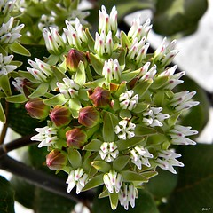 Curtiss' Milkweed (Bravely Blooming in Roadway) (bob in swamp) Tags: palmbeachcounty endangeredspecies asclepias asclepiadaceae fleurssauvages asclepiascurtissii junodunesnaturalarea floridawildflowers curtissmilkweed taxonomy:binomial=asclepiascurtissii