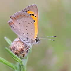 Papillon Cuivr commun / Butterfly Common Copper (Lycaena phlaeas) (bEOSien87) Tags: macro nature grass animal canon butterfly insect french eos wildlife sigma papillon franais insecte herbe extender smallcopper kenko lycaenaphlaeas sigma105mm 550d commoncopper sigma105mmf28exdg cuivrcommun kenko14 rebelt2i kissx4 kenkopro300dgx