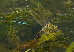 Emp-dams_4176 (Peter Warne-Epping Forest) Tags: uk pond dragonfly damselfly essex epping emperor commonblue odonata anaximperator ovipositing