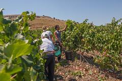 Planeta_20_agosto_12_0172 (Planeta Winery - Sicily) Tags: sicily sicilia planeta sambucadisicilia agosto2012