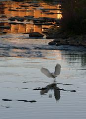 Il vasetto (meghimeg) Tags: bird water river fiume acqua riflessi 2012 uccello bormida cairomontenotte