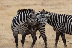 (ShazzerSnaps) Tags: tanzania safari ngorongoro crater zebra 2012