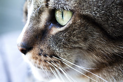 Hunter (DFChurch) Tags: pet eye nature face animal cat feline profile hunter highqualityanimals