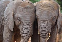 Baby elephants at Sheldricks (Sallyrango) Tags: africa kenya nairobi elephants africanelephants elephantorphanage babyelephants sheldricks