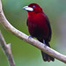 Silver-beaked Tanager (Ann & Walter Burns)