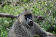 2011-03 D2a - Amboseli Park-98.jpg (cassio.scomparin) Tags: africa kenya safari riftvalley paises oltukai qunia animaisewildlife macacobichopreguica
