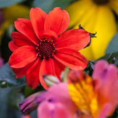 Rainbow colours (Steve-h) Tags: park pink dahlia flowers ireland red dublin orange color colour green art tourism nature colors leaves yellow canon t eos gold grey design rainbow europe colours purple zoom gardening blossoms tourists flowerbed handheld buds recreation rudbeckia horticulture alstroemeria citycentre aerlingus spotmetering ststephensgreen bluish aperturepriority steveh canonef100400mmf4556lisusm iso1000 100mm400mm elephoto canoneos5dmkii canoneos5dmk2 september2012