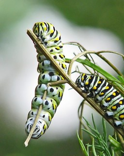 Black swallowtail caterpillars - last instar